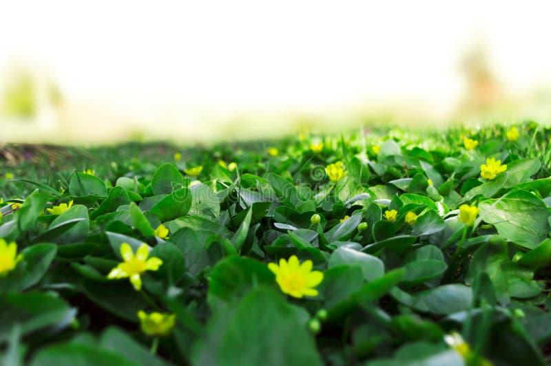 Bella radura con le piante verdi ed i fiori gialli fotografie stock