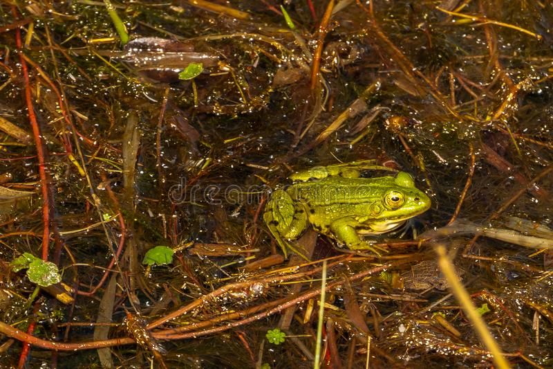 Bella rana verde nell'acqua immagine stock