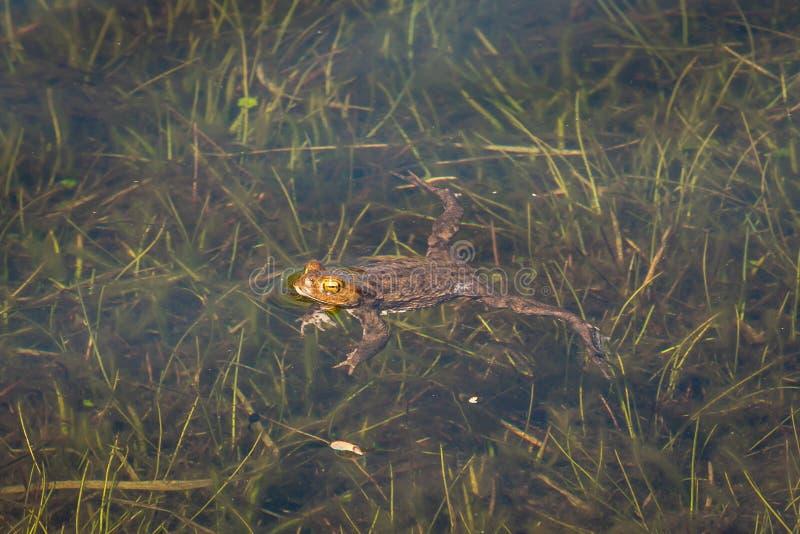 Bella rana verde nell'acqua immagini stock libere da diritti