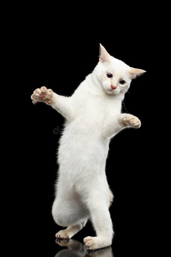 Bella razza senza bobtail Cat Isolated Black Background del Mekong della coda fotografie stock
