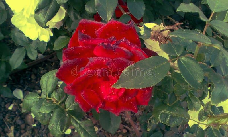 Bella Rosa immagine stock