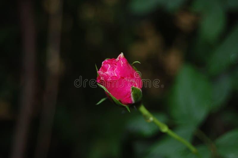 Bella Rosa immagine stock libera da diritti