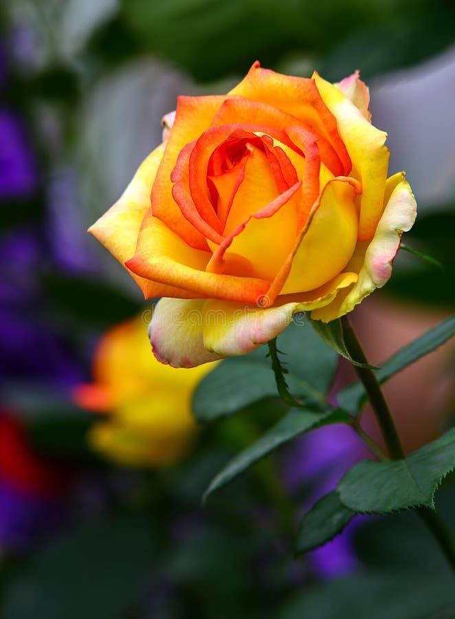 Bella rosa colorata rossa gialla nel giardino di primavera immagine stock libera da diritti