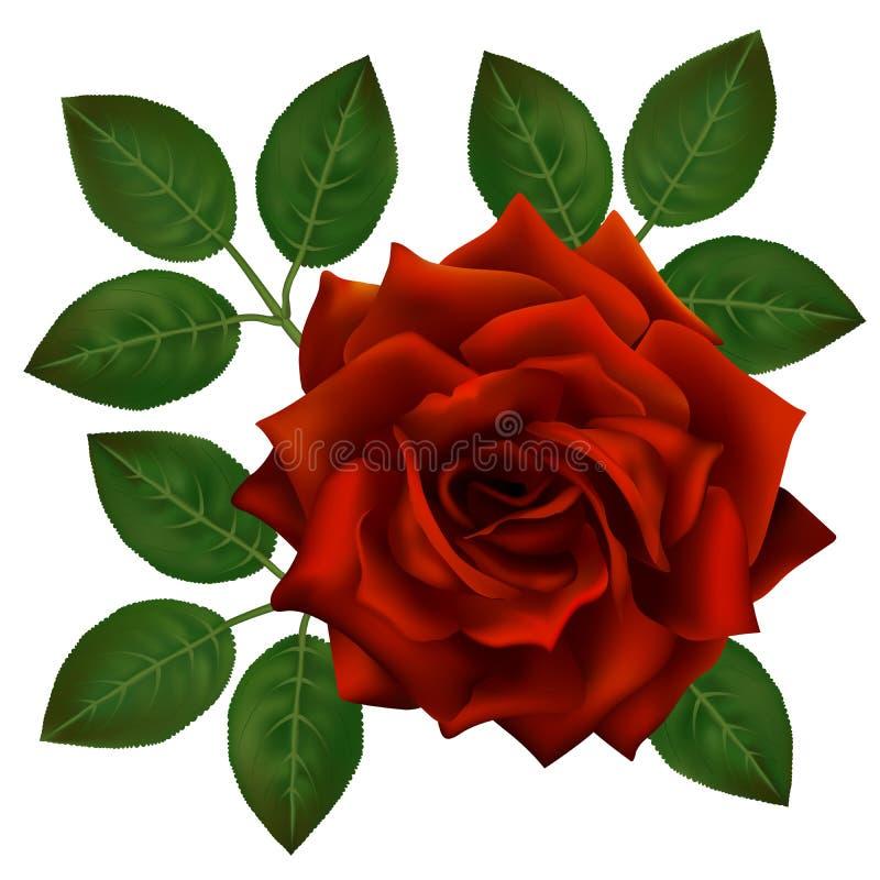 bella rosa di colore rosso isolata su priorità bassa bianca Decorazione perfetta per la vostra progettazione, fiore fotorealistic illustrazione di stock