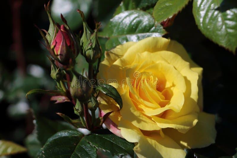 Bella rosa di giallo e foglie verde scuro immagini stock