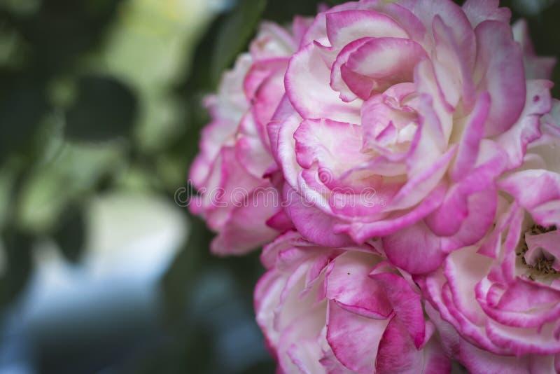 Bella rosa di rosa nel giardino fotografia stock libera da diritti