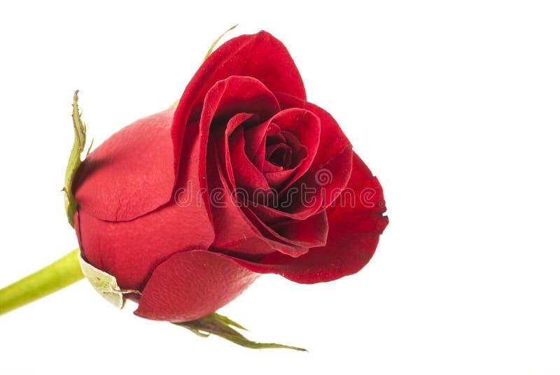 Download Bella rosa rossa fotografia stock. Immagine di oggetto - 30825228