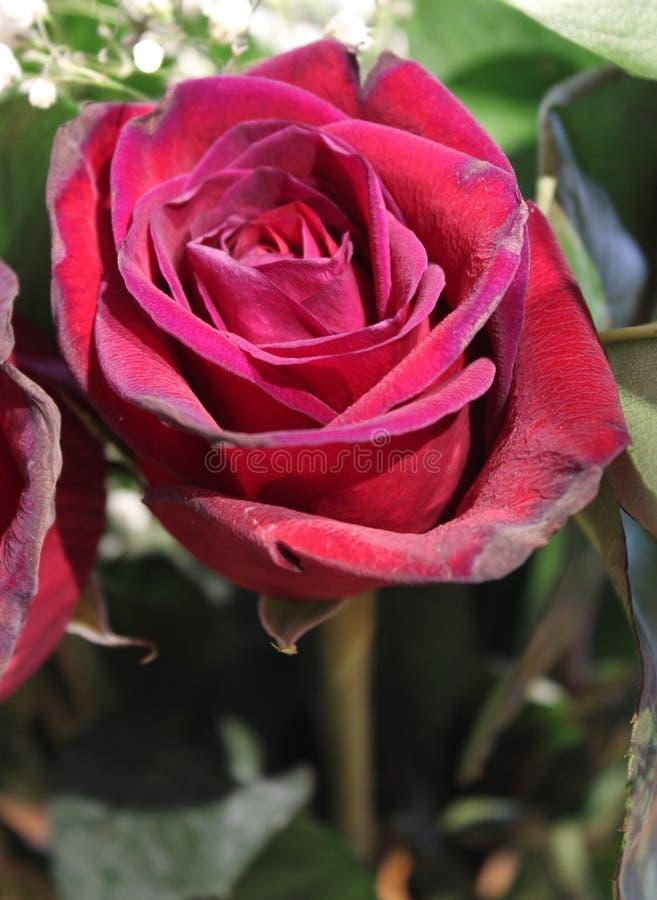 Bella rosa rossa aperta con appassire secondario fotografie stock libere da diritti