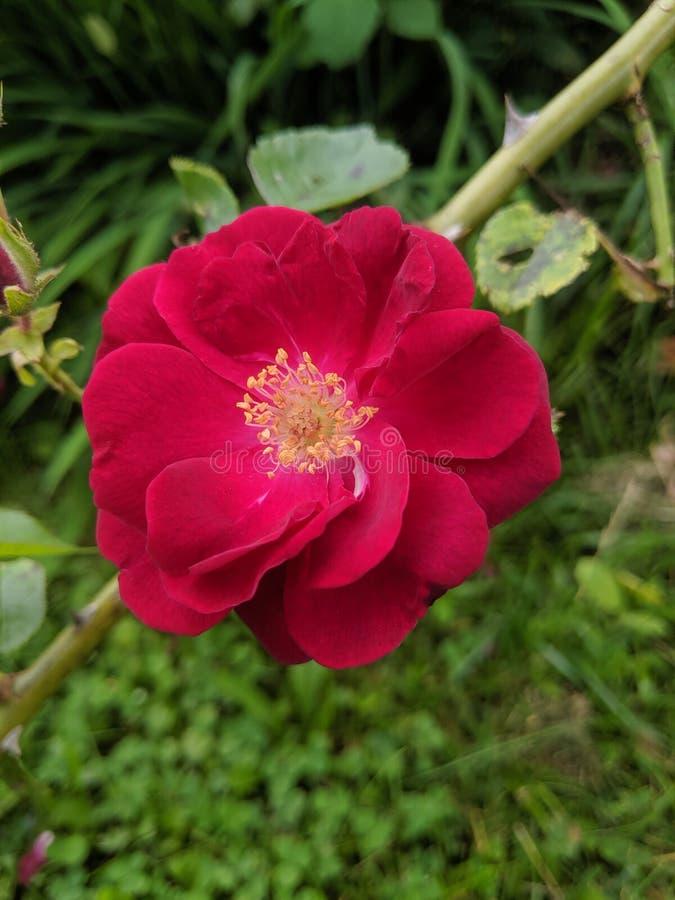 Bella rosa rossa completamente aperta immagini stock