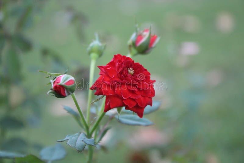 Bella rosa rossa con il giardino come fondo fotografie stock libere da diritti