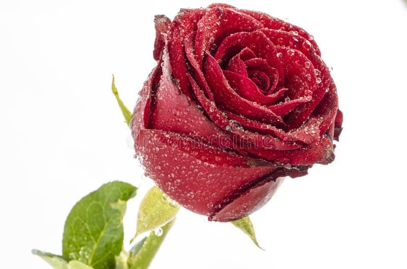 Bella rosa rossa con le gocce di acqua sui suoi petali, isolate immagini stock