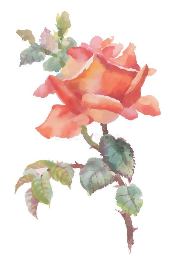 Bella rosa rossa disegnata a mano dell'acquerello su fondo bianco illustrazione vettoriale