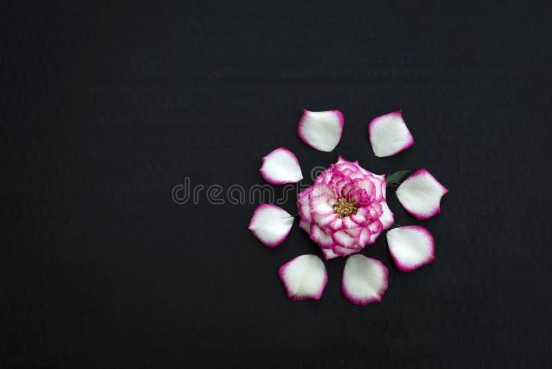 Bella Rosa rosa su fondo nero immagini stock libere da diritti