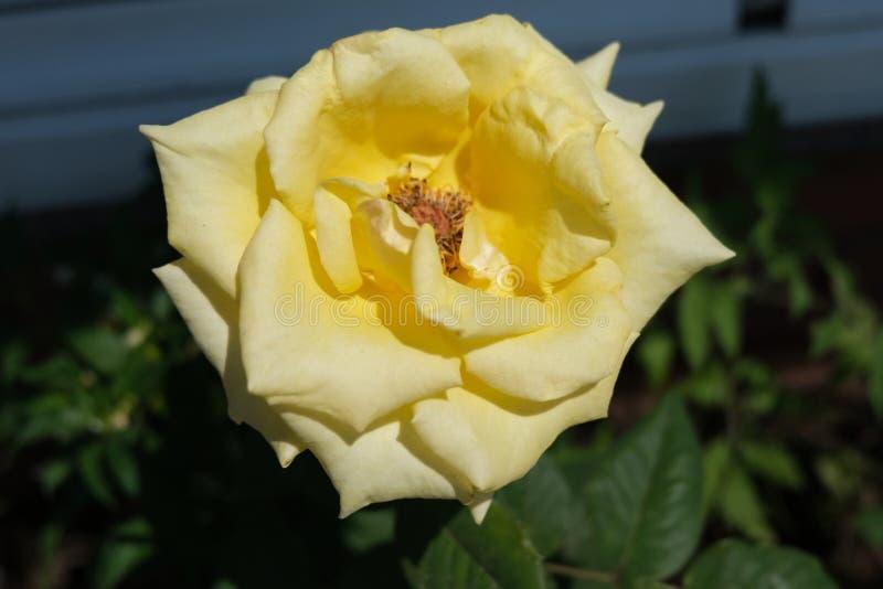 Bella Rose Flower gialla variopinta immagine stock libera da diritti
