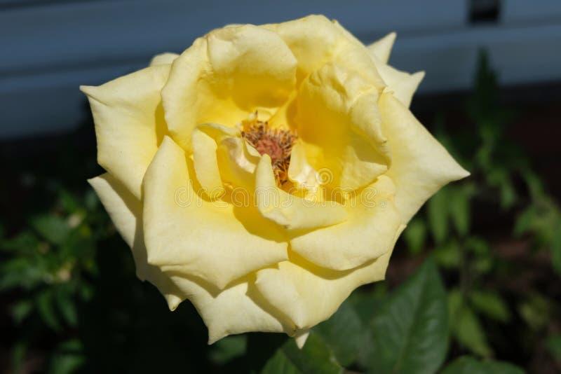 Bella Rose Flower gialla variopinta fotografie stock libere da diritti
