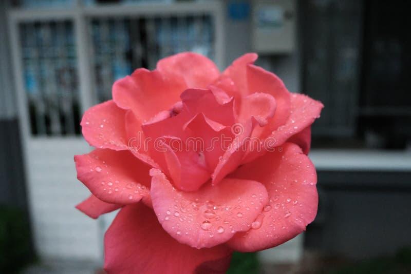 Bella Rose Flower rossa variopinta fotografia stock