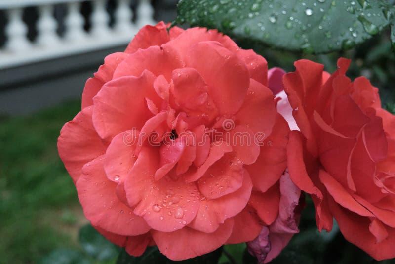 Bella Rose Flower rossa variopinta immagine stock libera da diritti