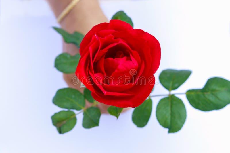 Bella Rose Isolated rossa su fondo bianco tenuto a mano fotografia stock libera da diritti