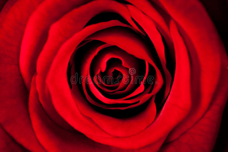 Bella Rose In Macro rossa fotografia stock