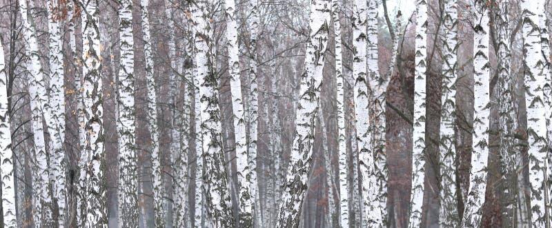 Bella scena con le betulle nella foresta della betulla di autunno a novembre tra altre betulle fotografia stock