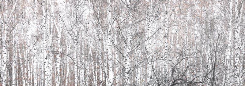 Bella scena con le betulle nella foresta della betulla di autunno a novembre tra altre betulle immagini stock