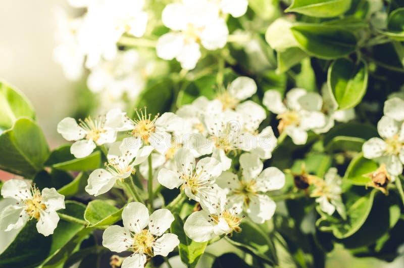 Bella scena della natura con il chiarore di fioritura del sole e dell'albero/giorno soleggiato Bello frutteto primavera immagine stock