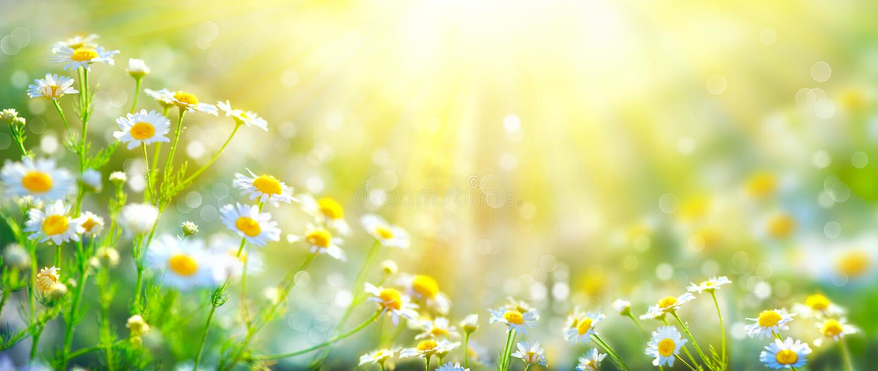 Bella scena della natura con le camomille di fioritura fotografia stock
