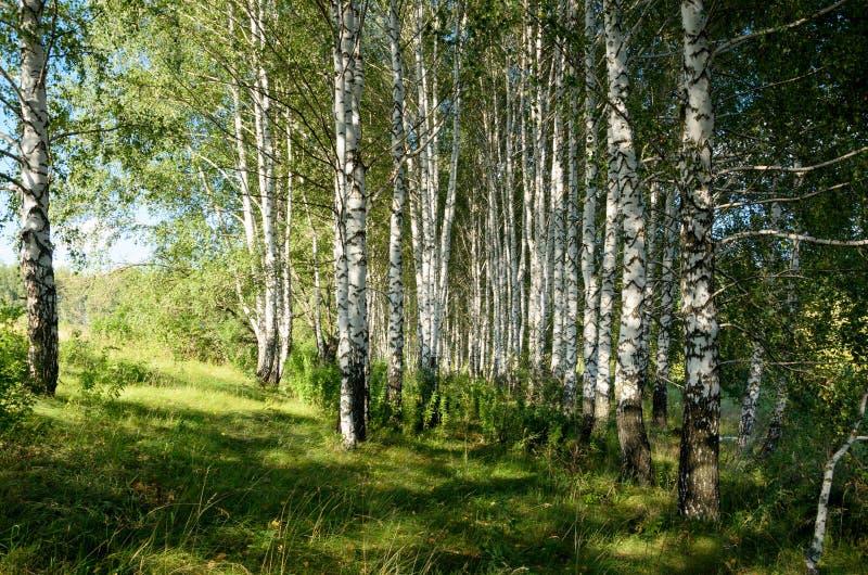 Bella scena di estate con il boschetto della betulla immagini stock libere da diritti
