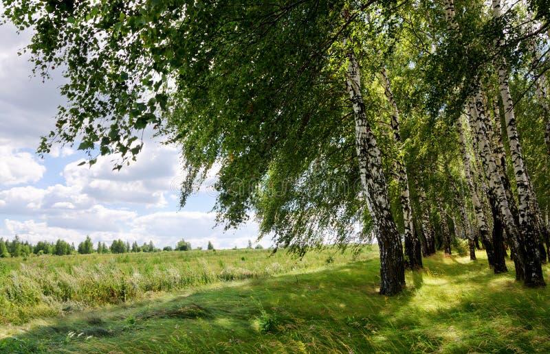 Bella scena di estate con il boschetto della betulla immagine stock libera da diritti