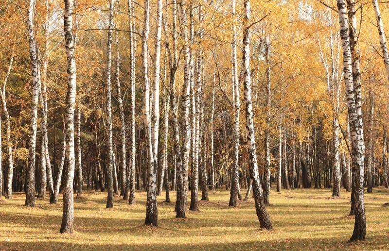 Bella scena nella foresta gialla della betulla di autunno ad ottobre con le foglie di autunno gialle cadute fotografia stock
