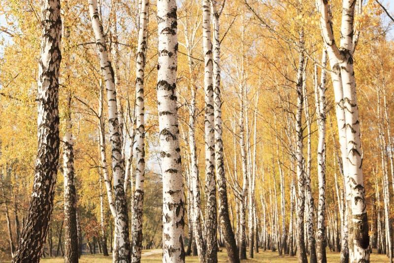 Bella scena nella foresta gialla della betulla di autunno ad ottobre con le foglie di autunno gialle cadute fotografia stock libera da diritti
