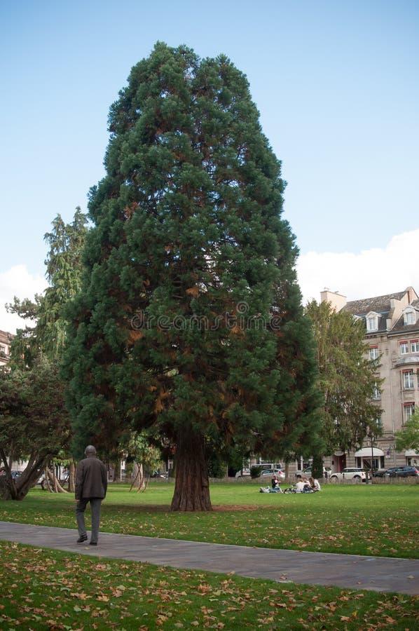 Bella sequoia nel parco di Steinbach a Mulhouse immagini stock libere da diritti