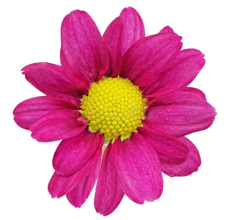 Bella singola dalia rossa viola flowers.?loseup fotografia stock libera da diritti