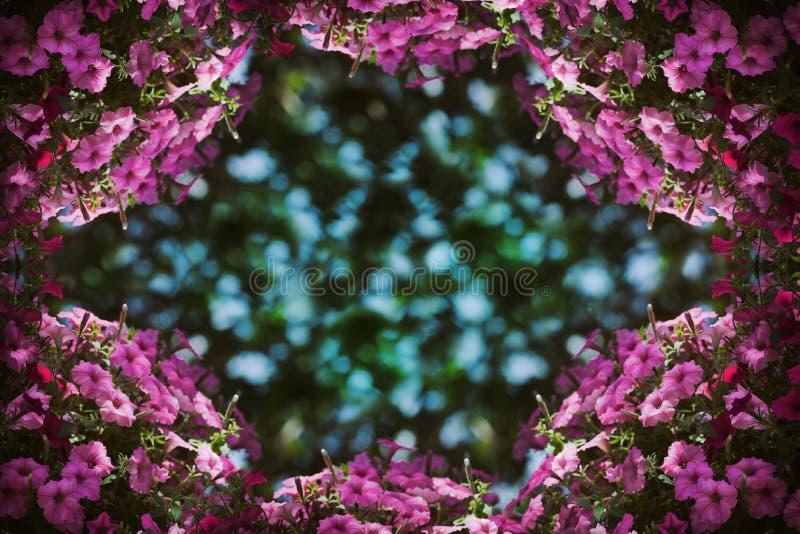 Bella struttura dei fiori della petunia con bokeh nel centro della foto fotografia stock libera da diritti