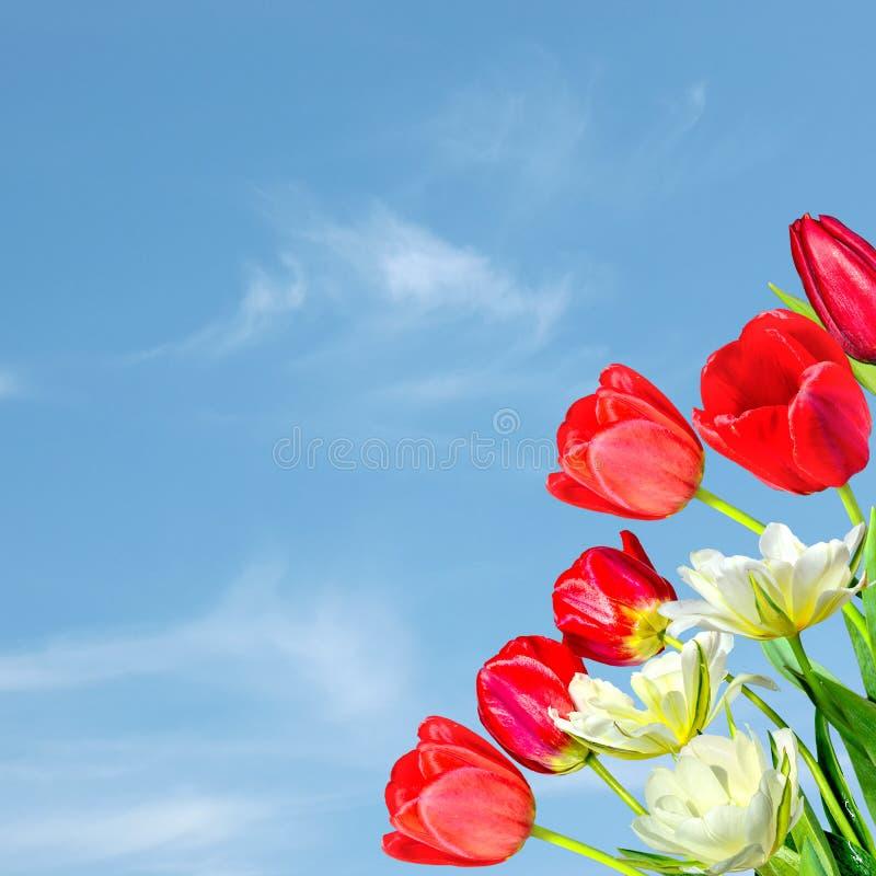 Bella struttura della molla con il mazzo dei tulipani rossi e bianchi gialla su un fondo del cielo blu immagine stock