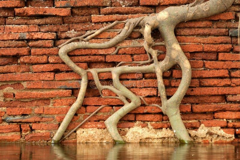 Bella struttura della radice alla parete. fotografie stock
