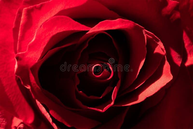 Bella struttura della rosa rossa, fiore romantico Fondo alla moda e astratto fotografie stock libere da diritti