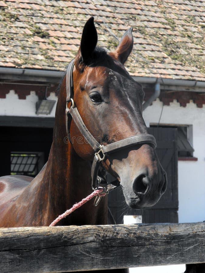 Bella testa del cavallo. fotografia stock