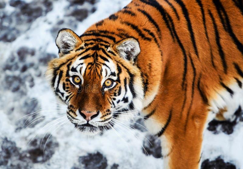 Bella tigre dell'Amur su neve Tigre nell'inverno Scena della fauna selvatica con l'animale del pericolo immagine stock libera da diritti