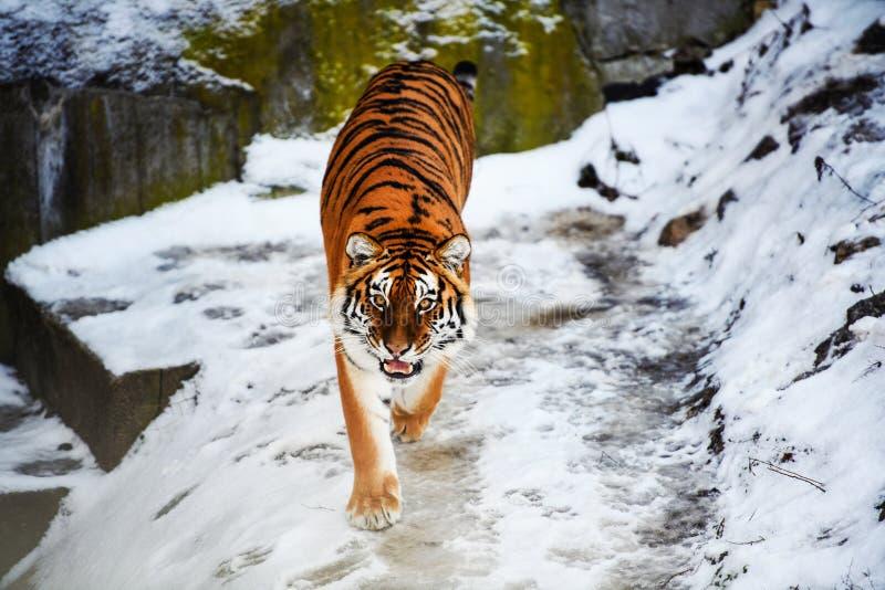 Bella tigre dell'Amur su neve Tigre nell'inverno Scena della fauna selvatica con l'animale del pericolo immagine stock