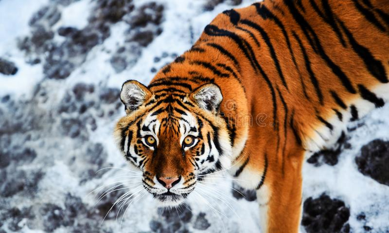 Bella tigre dell'Amur su neve Tigre nell'inverno Scena della fauna selvatica con l'animale del pericolo fotografie stock