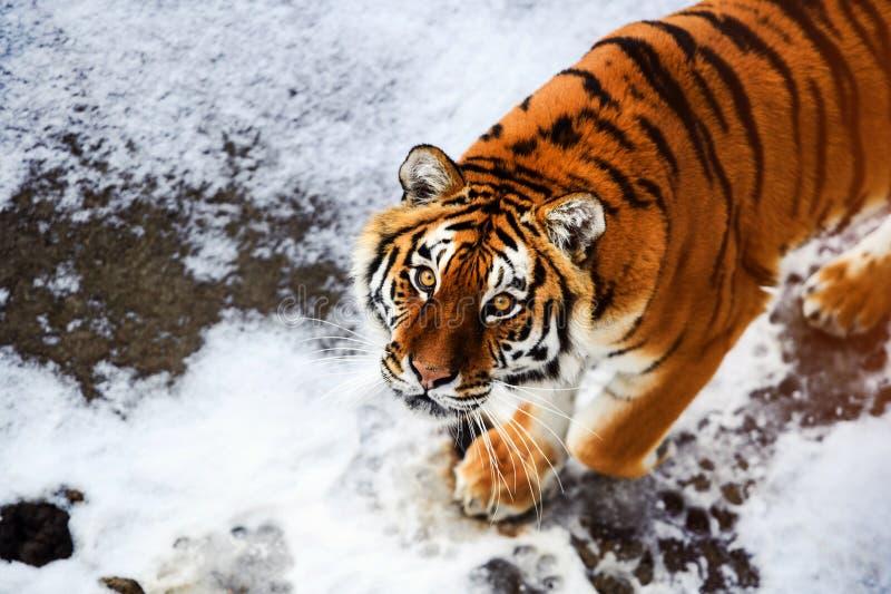 Bella tigre dell'Amur su neve Tigre nell'inverno Scena della fauna selvatica con l'animale del pericolo fotografia stock