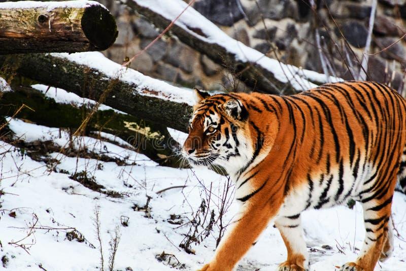 Bella tigre dell'Amur su neve Tigre nell'inverno Scena della fauna selvatica con l'animale del pericolo fotografie stock libere da diritti