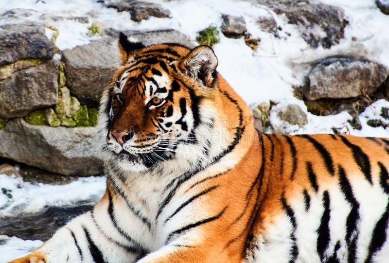 Bella tigre dell'Amur su neve Tigre nella foresta di inverno immagine stock