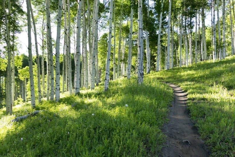 Bella traccia di escursione della montagna attraverso Aspen Trees di Vail Colorado fotografia stock libera da diritti