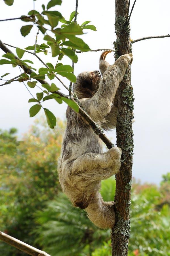 Bella, une paresse trois-bottée avec la pointe du pied, grimpe à un arbre dans le ranch de délivrance de toucan, une installation photos stock