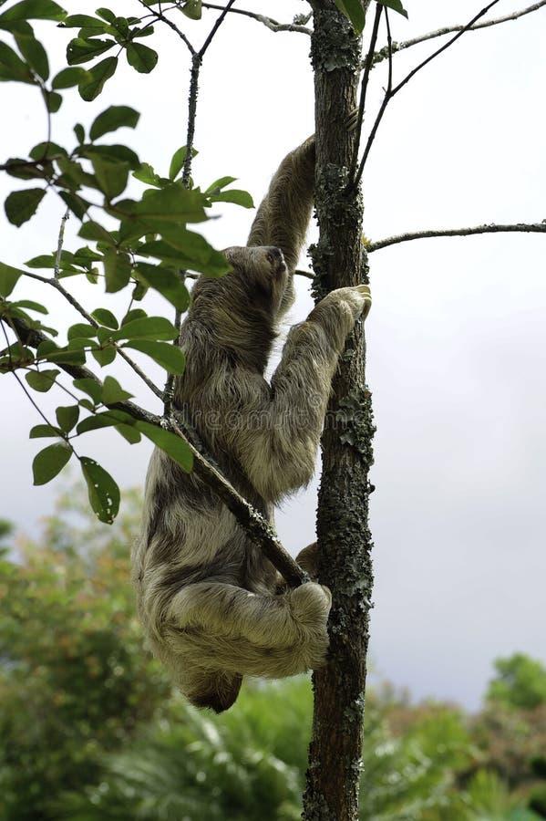 Bella, une paresse trois-bottée avec la pointe du pied, grimpe à un arbre dans le ranch de délivrance de toucan, une installation image stock