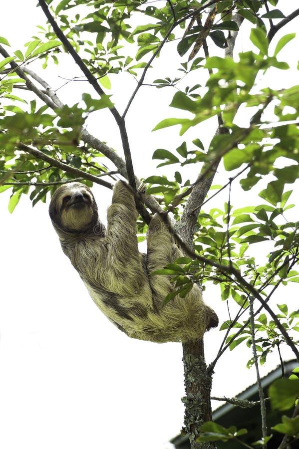 Bella, une paresse trois-bottée avec la pointe du pied, pend d'un arbre dans le ranch de délivrance de toucan, une installation d photographie stock libre de droits