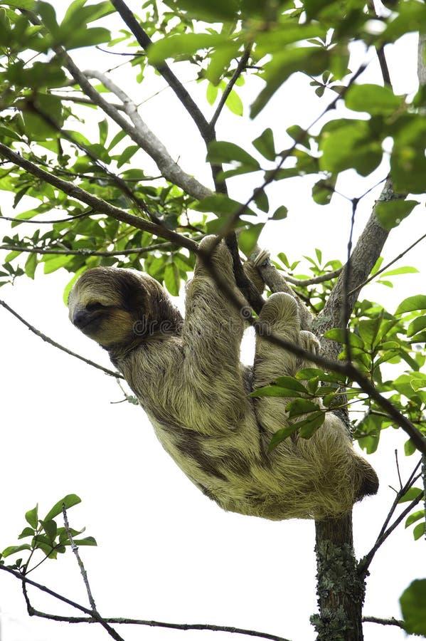 Bella, une paresse trois-bottée avec la pointe du pied, pend d'un arbre dans le ranch de délivrance de toucan, une installation d images stock