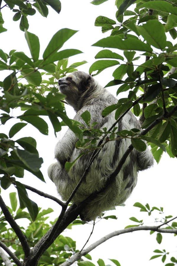 Bella, une paresse trois-bottée avec la pointe du pied, se repose dans un arbre dans le ranch de délivrance de toucan, une instal photographie stock